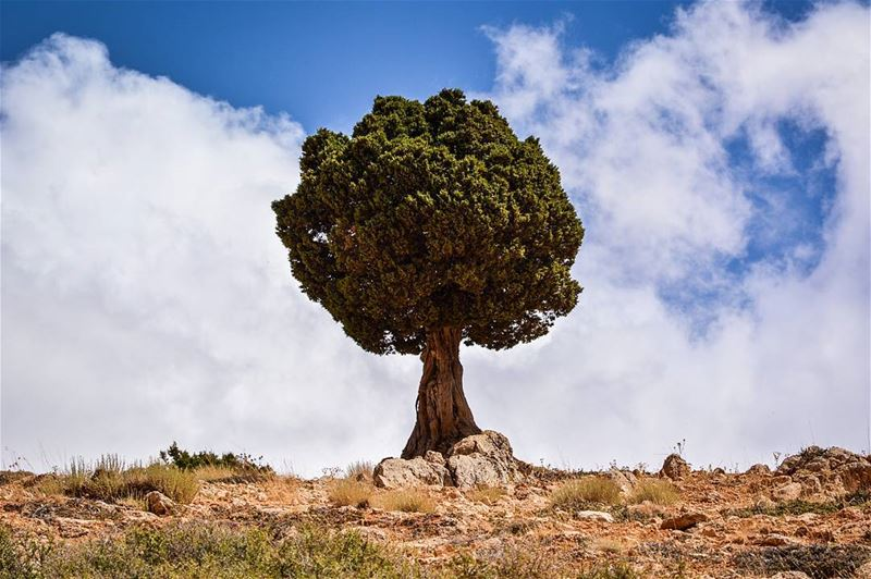 .The lonely tree | Oyoun orgosh, North of Lebanon. Good evening dear... (Oyoun oreghoch)