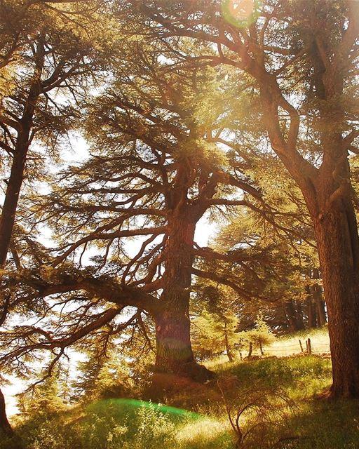 Mães são fortes como o cedro do Líbano. Por isso dedicamos a elas esta... (Cedars of God)