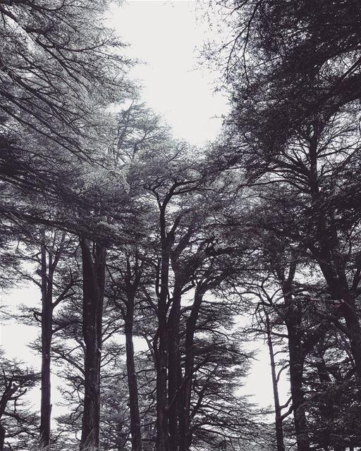 Away. Cedars Tree Nature Beauty ...