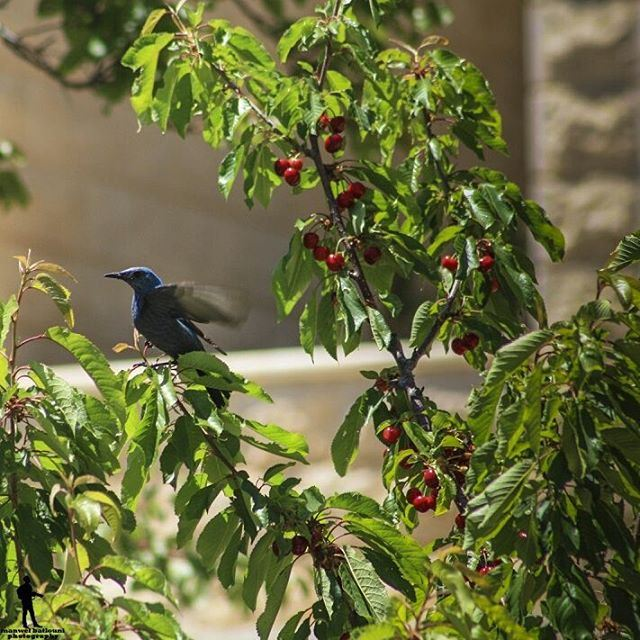 This bird was amazing ♥ bird cherry bluebird chouf lebanon jbaa ...