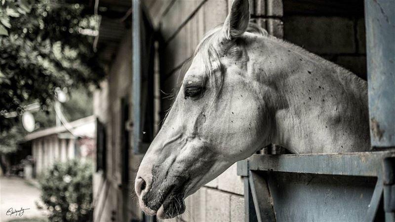 Mr. horse animal blackandwhite portrait lebanon snapshot photo ... (Antoura)