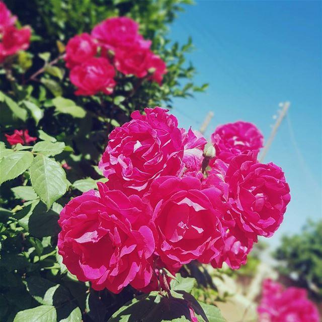 lebanon live_love_lebanon flowers...