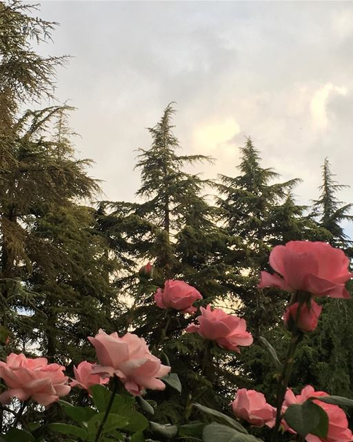 La Vie en Rose roses cedars beautiful weather ...