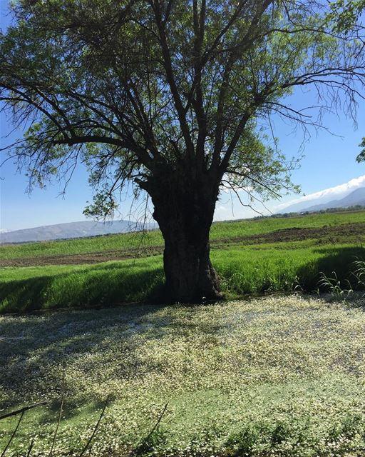 greenzone redwoodtree ammiqreserve bekaa heavenonearth ... (`Ammiq, Béqaa, Lebanon)