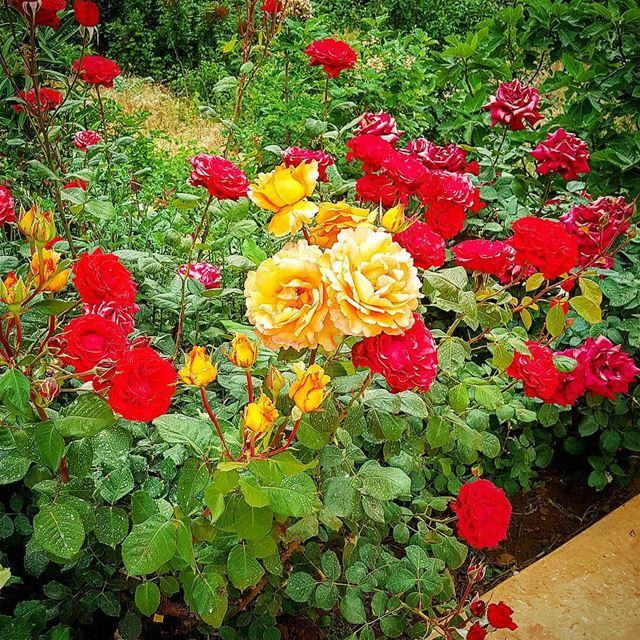 Summer time. rose roses redroses redrose flowers lebanon kalaa ... (Qalaa)