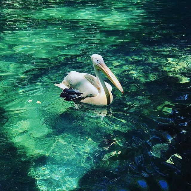 Photo by @ramonchik26 Good morning from our little pelican ! Have a great... (شلالات الزرقاء -بعقلين)