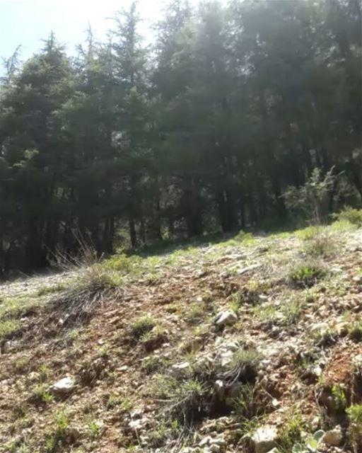nature_video hiking livelovelebanon beautifull cedars trees ... (Al Shouf Cedar Nature Reserve)