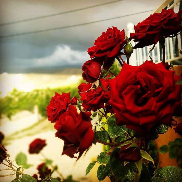 flowers peace red live_love_lebanon britel...