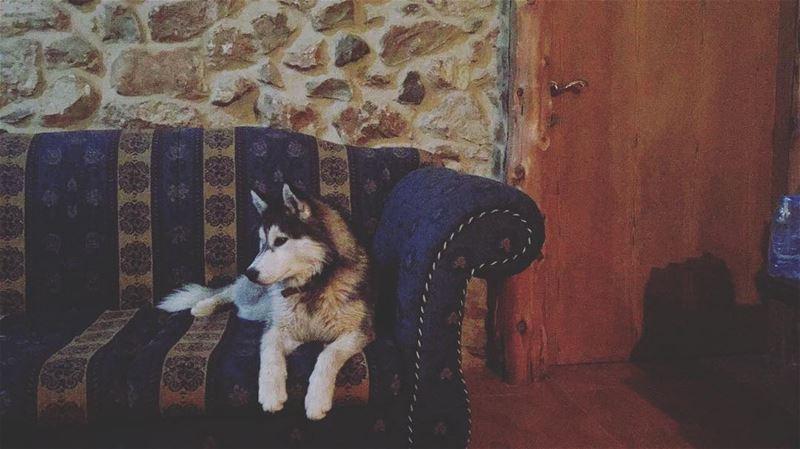 dog husky love casamia cane diva queen principessa instadog ... (Majdel el-Aqoura)