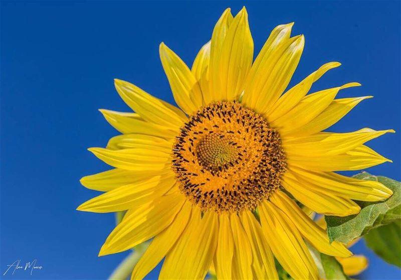 helianthus yellow flower bluesky sunflower ...