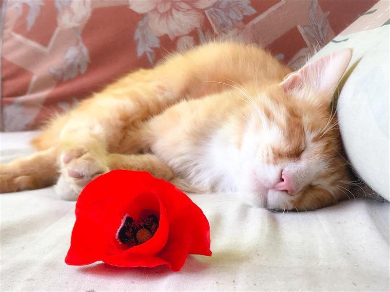 Have a lovely start of the week 🌷🌹🌺 redpoppy favoriteflower ... (Fih, Liban-Nord, Lebanon)