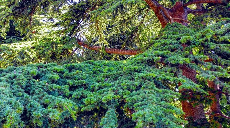 Branch your green side! Lebanon cedar sky forest liban nature scene... (Tannourine Cedars Nature Reserve)