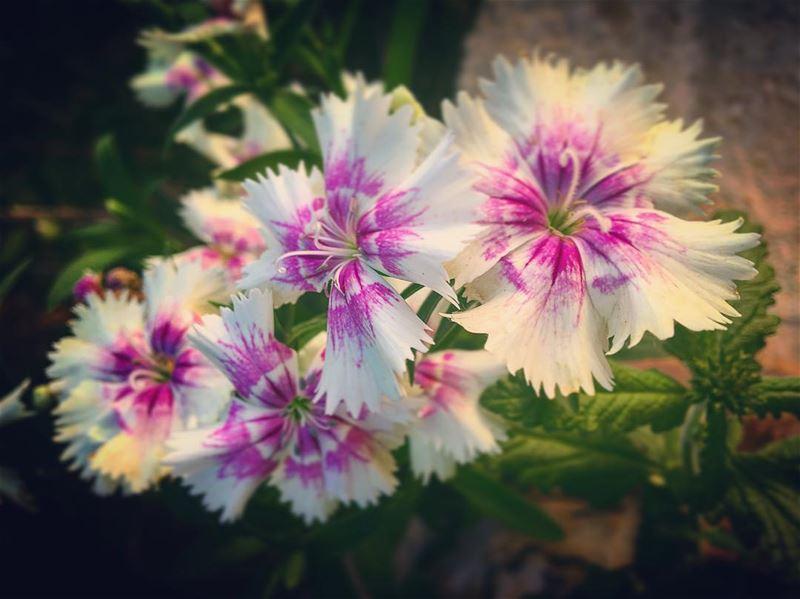 lebanon batroun rasnhash home garden flowers flower bouquet ... (Ra'S Nhash, Liban-Nord, Lebanon)