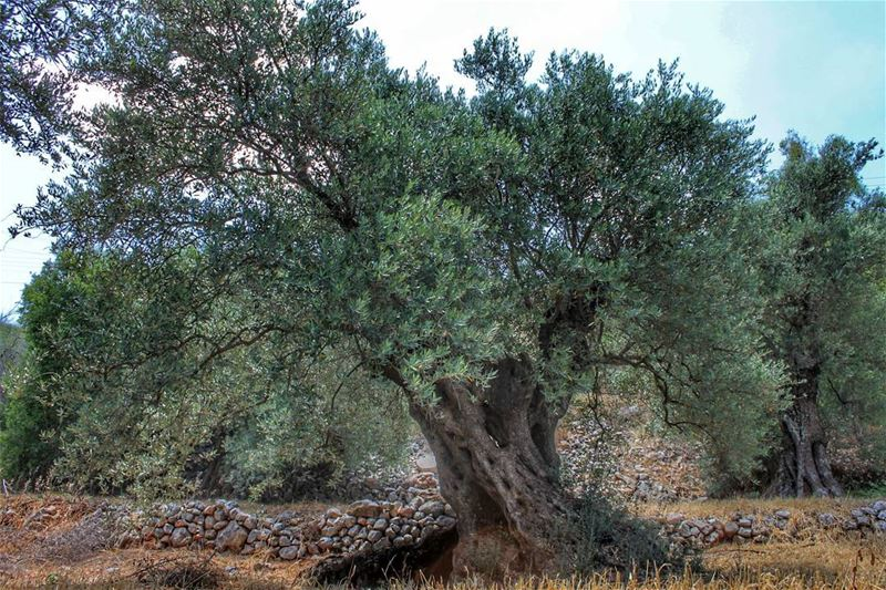 A 2000 years old Olive Tree... kawkaba lebanon ig_lebanon ...