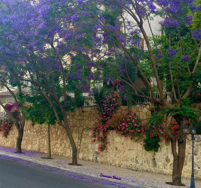 streetphotography flowers colors beautiful lebanon jakaranda ...