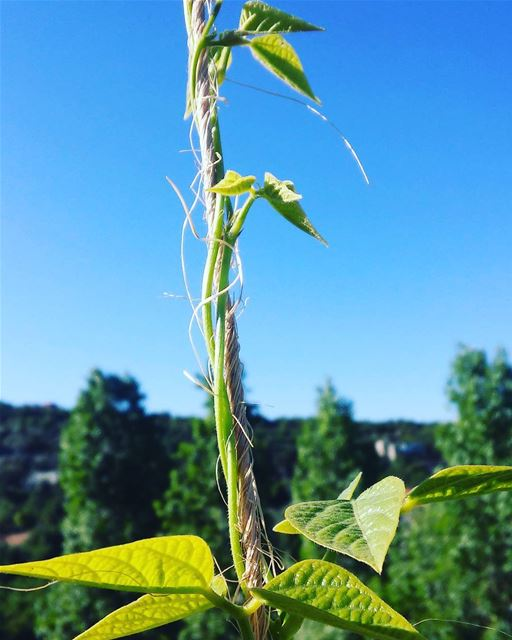 Haricot ...🌿 nature herbalife life love green lebanon beirut ... (Botme - Chouf)