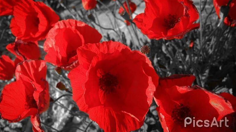 photooftheday Anemone_coronaria picsart شقائق_النعمان photooftheday ...
