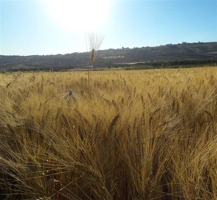 Golden fields khiam marjayoun south lebanon gold color fields ... (Al Khiyam, Al Janub, Lebanon)