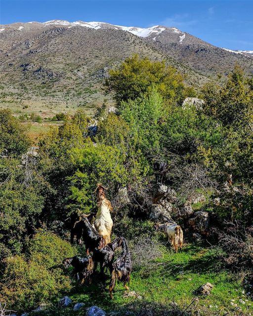 Mangetout. Goats will eat almost anything. They'll munch through thorns,... (Rashayya, Béqaa, Lebanon)