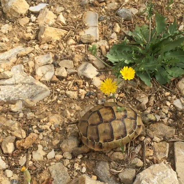 🐢Baby turtle was my morning trophy while jogging! So adorable! 🐢...... (Beirut, Lebanon)
