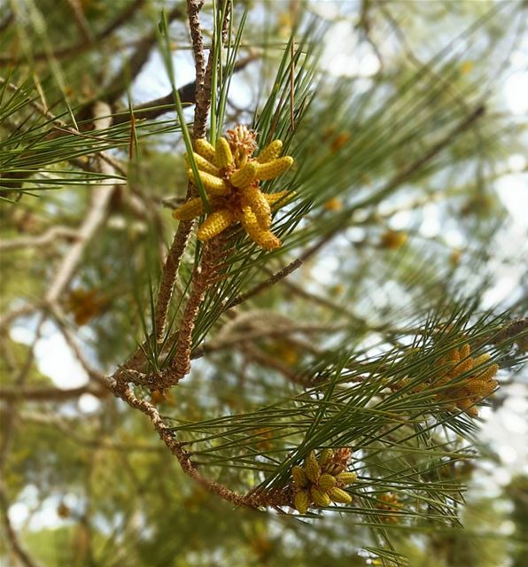 Pine pollen has long benefited plants, animals and humans that come in...
