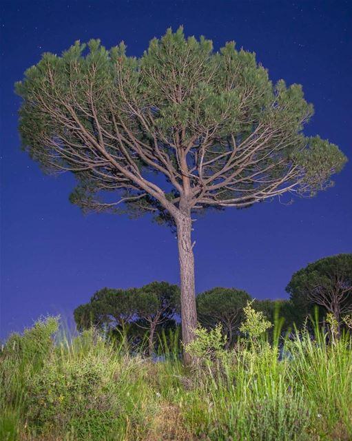 أسعد الله مساءكم بكل خير ☺ pinetree pine tree night nightphotography ...