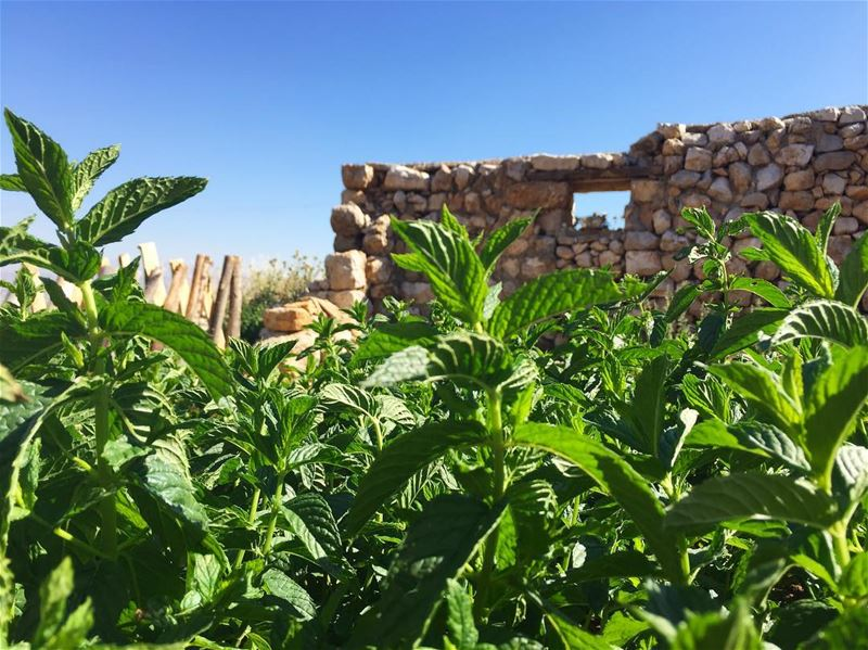 🌿Our homegrown mint is 100% toxic free💚  no pesticides or chemical... (`Ammiq, Béqaa, Lebanon)