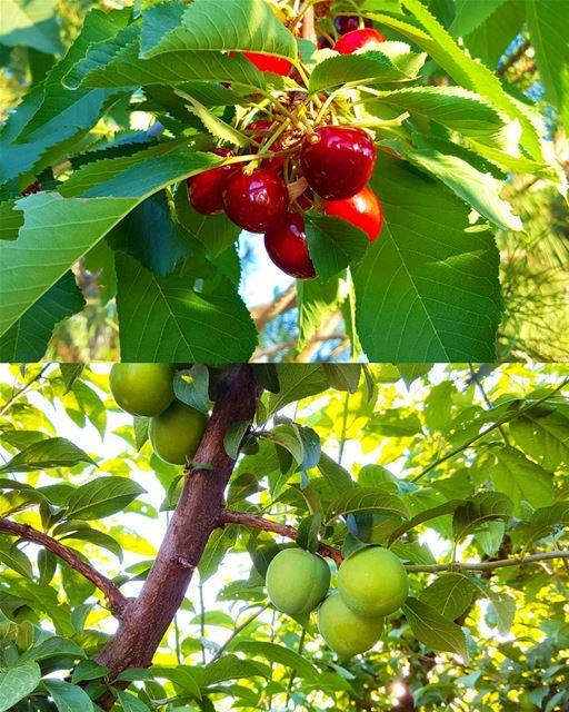For the Love of  Fresh  Cherry 🍒 and  Janerik 🍈 ( Greengage).😎Another...