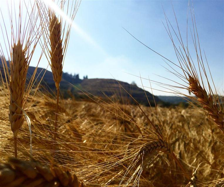 Harvest time !ترابك يابلادي بينبض أمل وحياة------------------------------ (Wadi Jilu, Al Janub, Lebanon)