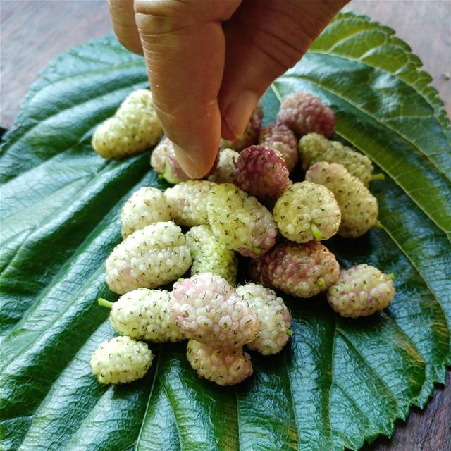 Allow me to offer you some toot (mulberries). Going to get some more later... (Dayr Al Qamar, Mont-Liban, Lebanon)