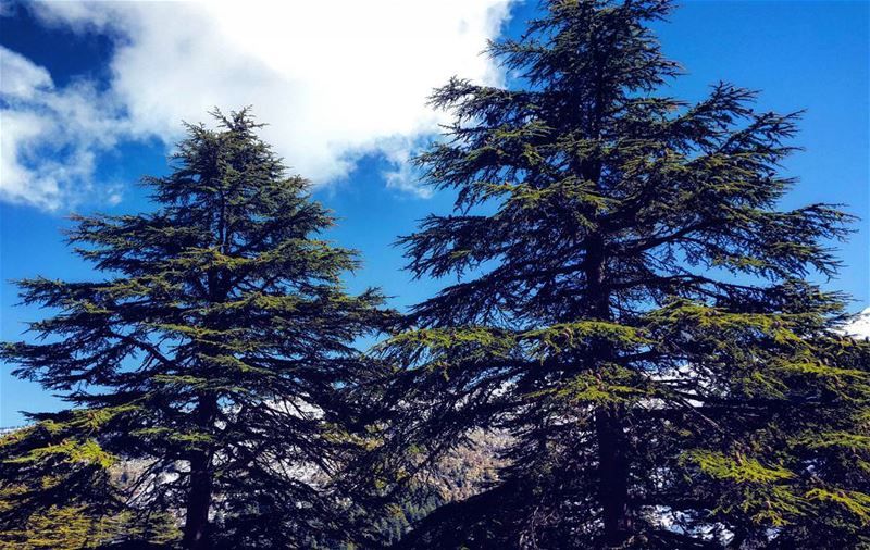 Trees can communicate. You just have to listen. Lebanon cedar sky ... (Ehden, Lebanon)