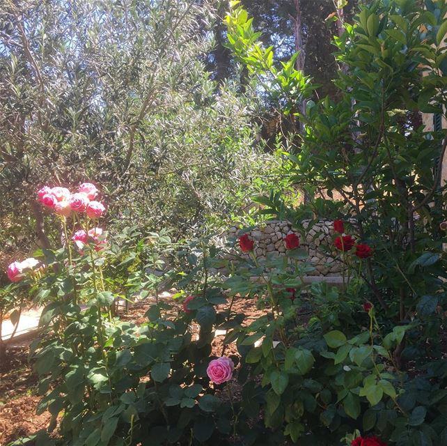 instalike ptk_lebanon ig_capture ig_lebanon ig_nature flowers ... (`Ain Ksur, Mont-Liban, Lebanon)