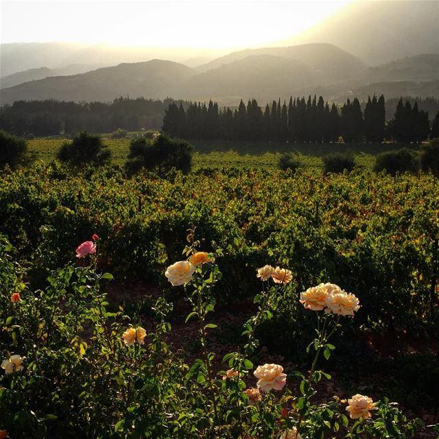 my country lebanon bekaa @livelovebekaa nature winery roses picoftheday... (Château Kefraya)