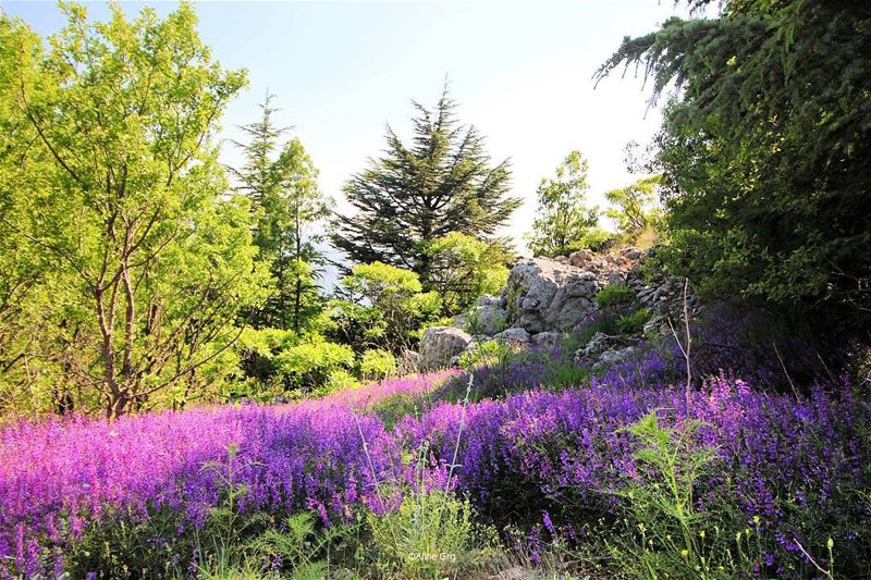 """Every Flower is a Soul blossoming in Nature"" 🌺🌲💜 baroukmountain soul... (Shouf Biosphere Reserve)"