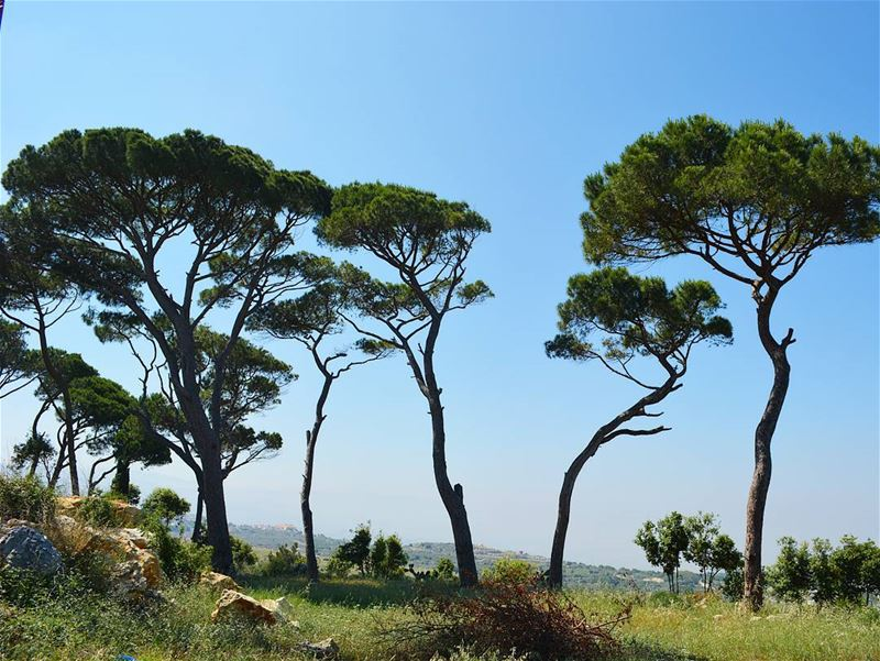 Pine Trees Dancing with the wind! loves_lebanon super_lebanon ... (Dahr Maad)
