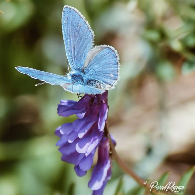 beautiful to see hard to catch😊😊😊 bleu Butterfly ......