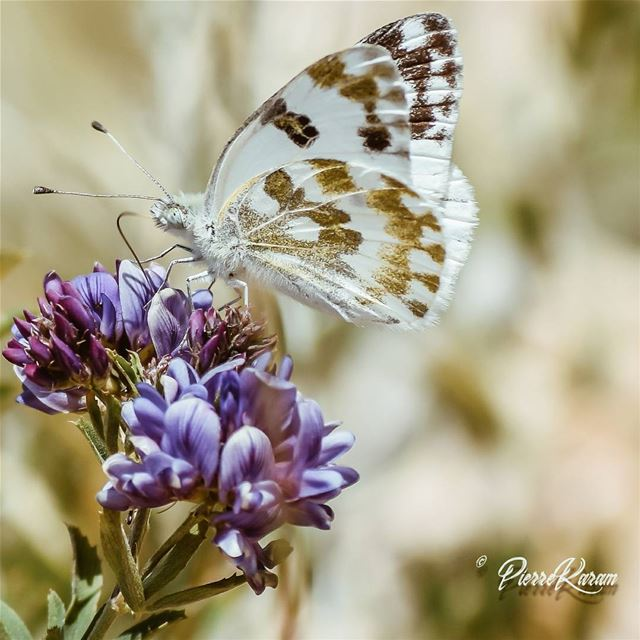white and gold Butterfly ... naturephotography nature...