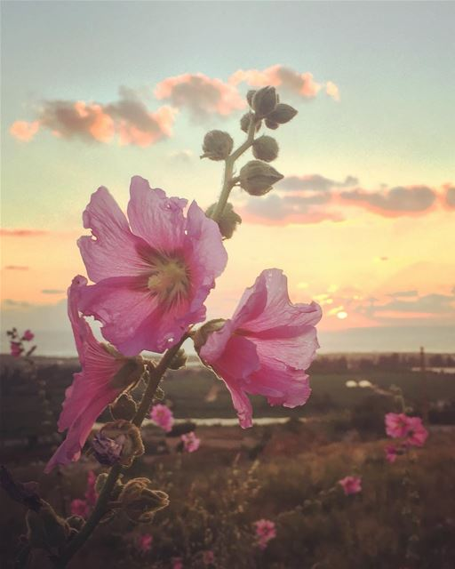 🌸🌸... sunset Flowers tyrepage livelovelebanon droplets beach ...