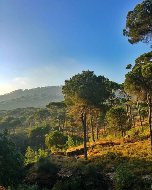 Hammana's pine trees😍 lebanon nature naturelovers natureporn ... (Hammana)