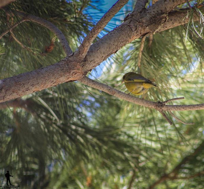 Good morning 💃 goodmorningpost bird nature green yellow chouf...