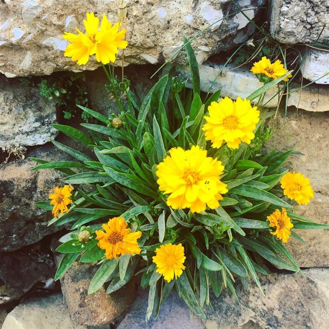 nature flowers green plant wall rock yellow orange colorful life... (Faraya, Mont-Liban, Lebanon)