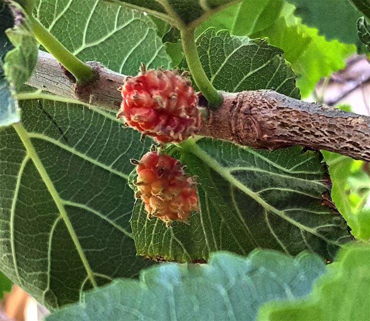 our blueberry tree toutshami yum😋 yummy delicious favourite ... (Jnaynitna Zaghla Home)