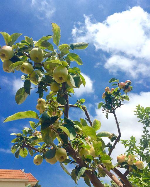 greenapples bluesky home mygarden mytree lovenature lebanon jnoub... (Ghaziyé, Al Janub, Lebanon)