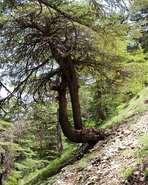 ehden heavenonearth amazingtree lebanon insta_lebanon liveloveehden... (Ehden, Lebanon)