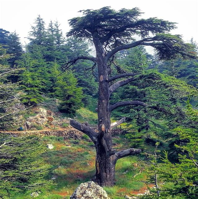 Tree pests are the culprits of pruning the wide branches of this ancient... (Cedars of God)