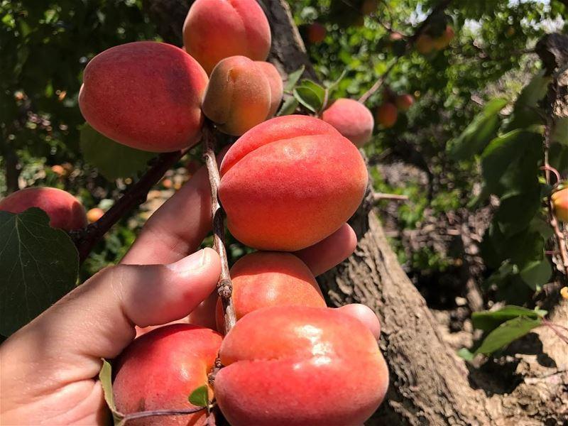 C'est la saison 😋🍑🍑 abricots Zahliotes 😋😋 livelovefood ...