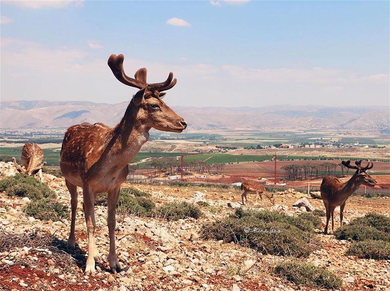 Deer•Bekaa deer bekaa westbekaa wild life animal outdoor bluesky ... (Aâna, Béqaa, Lebanon)