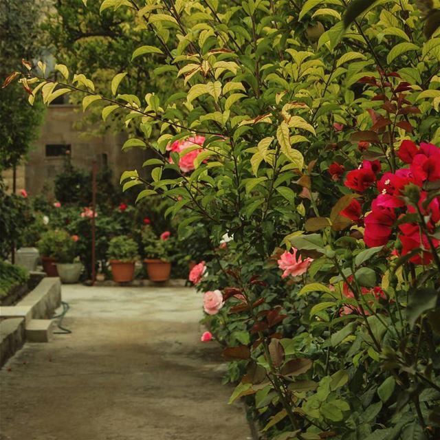 🌹🍃🌷... lebanon beino beinovillage rose roses garden ...