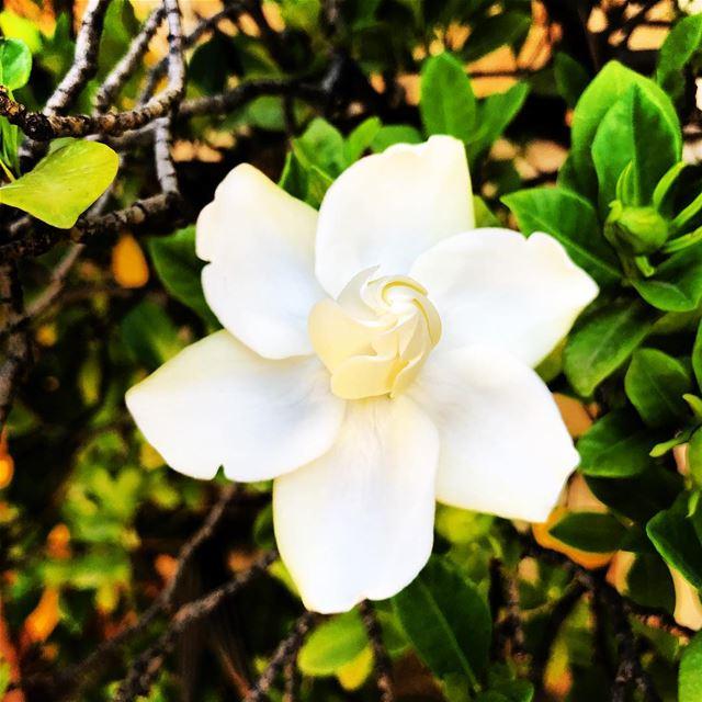 falougha gardenia travelphotography ... (Lebanon)