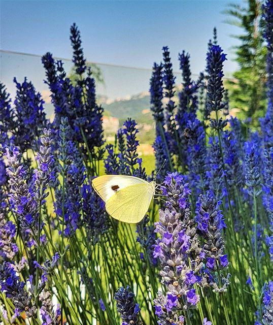 My yellow butterfly butterfly lavander garden home brummana ... (Brummana)